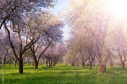 Poster Rose clair / pale Rows of beautifully blossoming trees on a green lawn. Apple orchard, blooming cherry trees, fruit trees, pink color. Trees in the sunlight.