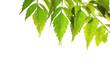 fresh leafs background