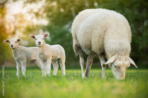 Fotografia cute little lambs with sheep on fresh green meadow