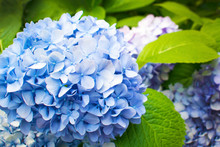 Beautiful Blue Hydrangea Or Ho...
