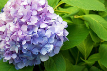 Beautiful Purple Hydrangea Or ...
