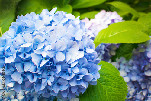Poster de jardin Hortensia Beautiful blue hydrangea or hortensia flower close up. Artistic natural background. flower in bloom in spring