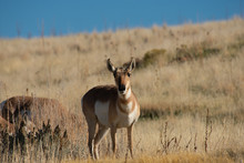 Young Antelope