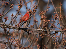 Summer Tanager Perched On Spri...
