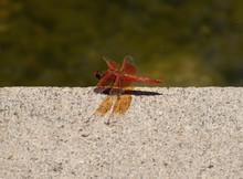 Flame Skimmer Dragonfly Resting