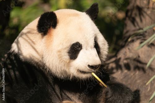 Valokuva  Giant panda in profile eating bamboo shoot