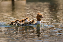 Mother Merganser With Cute Babies On Her Back