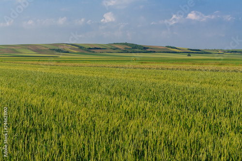 Poster Lime groen Countryside landscape. Natural background. Wheat field and country side scenery on bright, sunny spring with blue sky and some white clouds, Vojvodina, Serbia