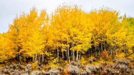 Fototapeta Las Aspens in the fall