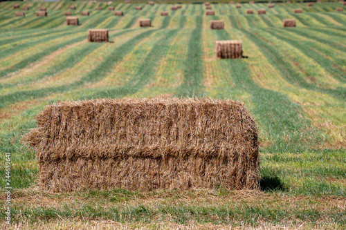 Photo Freshly made hay bales lie in a field ready to be stacked among the green rows