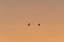Silhouette Of Two Canada Geese In The Sky At Sunset