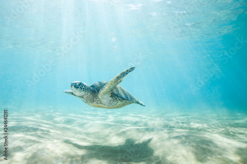 In de dag Dolfijn Sea Turtle Swimming in Clear Tropical Water Over Sand and Thru Sun Rays