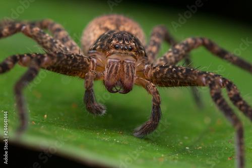 Zdjęcie XXL Piękny pająk w Sabah, Borneo, Pająk Borneo, pająk hunstman na zielonym liściu