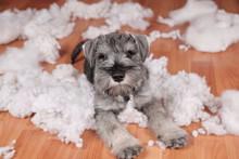 Naughty Bad Cute Schnauzer Pup...