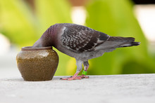 Homing Pigeon Drinking Water