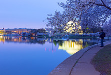 Blossoming Cherry Trees Around Tidal Basin At Dawn In Washington DC, USA. Thomas Jefferson Memorial Reflection And District Of Columbia Urban Landscape Before Sunrise.