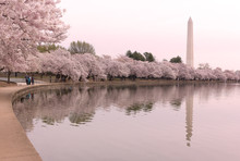 Late Stage Of Cherry Trees Bloom With Hues Of Pink Around Tidal Basin In Washington DC, USA. Washington Monument Surrounded By Cherry Trees With Reflections In Waters Of The Tidal Basin Reservoir.