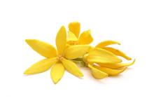 Ylang Ylang Flowers : Ylang Yl...