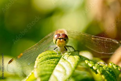 Fotografie, Obraz  Common Darter dragonfly (Sympetrum striolatum) perched face-on, Marazion Marsh, Cornwall, England, UK
