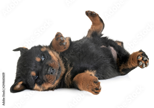 Obraz puppy rottweiler in studio - fototapety do salonu