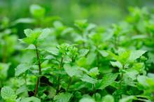 Hands Picking Mint Plant In Garden