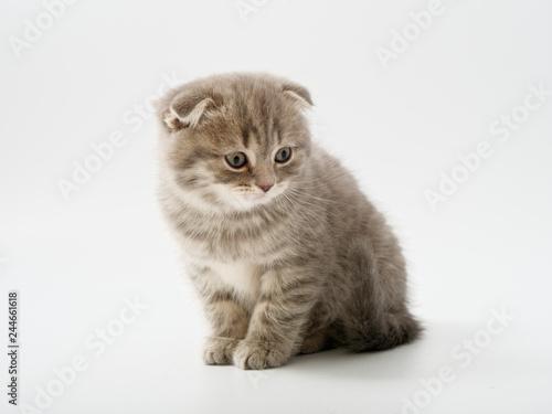 Fotografija  little kittens british fold on white background