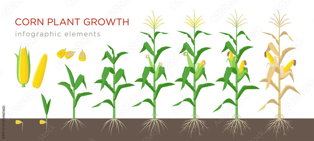 Fototapety, obrazy: Corn growing stages vector illustration in flat design. Planting process of corn plant. Maize growth from grain to flowering and fruit-bearing plant isolated on white background. Ripe corn and grains.