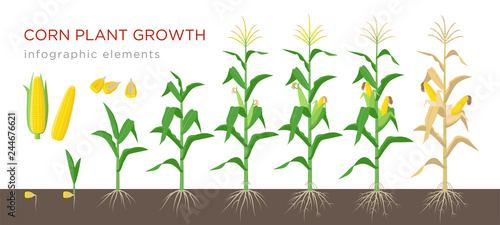Corn growing stages vector illustration in flat design Fototapet