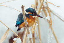Kingfisher Perches On A Stake ...