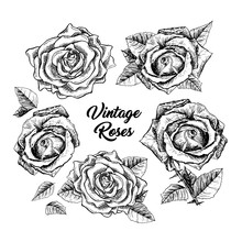 Roses Hand Drawn Vector Illustration. Black And White Rosebuds Ink Pen Cliparts. Floral Outline Drawings Set. Flower Sketches With Vintage Roses Lettering. Isolated Floral Engraving Design Elements