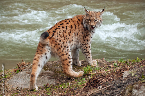Photo sur Toile Lynx Eursian lynx near water stream looking behind itself. Endangered mammal predator persecuted in natural environment.
