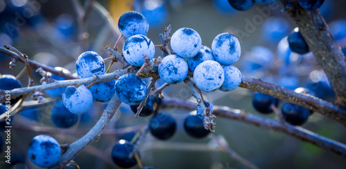 Photo  ripe berries on a branch of thorns