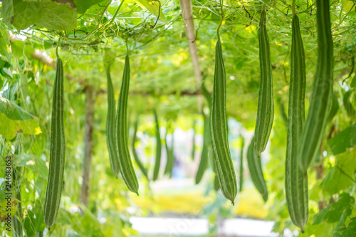Fotomural Fresh Luffa acutangula or Angled gourd in a vegetable garden, ready to harvest