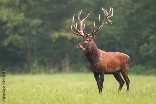 Printed kitchen splashbacks Khaki Strong male red deer, cervus elaphus, stag standing calmly on meadow isolated on green blurred background. Buck with big massive antlers trophy. Wild animal in natural environment. Dominant male.