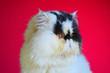 exotic persian gat