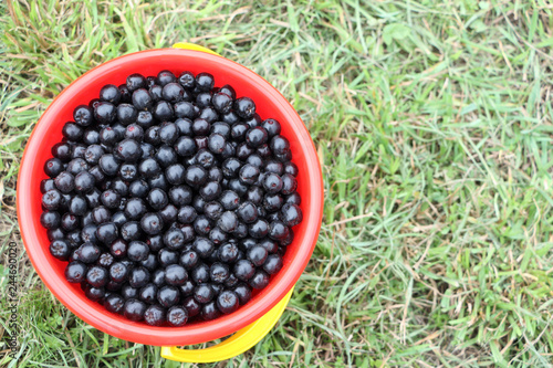 Fotografie, Obraz  Ripe chokeberry in a plastic bucket on the grass in the garden