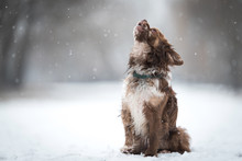 Chihuahua Dog Howling A Winter...