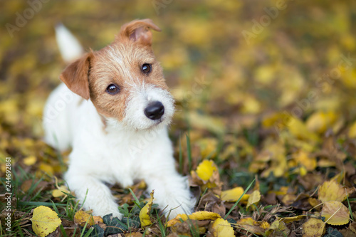 Obraz na plátně Pet training concept - cute happy jack russell dog puppy looking in the grass