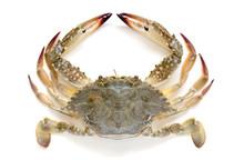 Flower Crab, Blue Crab, Blue Swimmer Crab (Portunus Pelagicus) Isolated On White Background