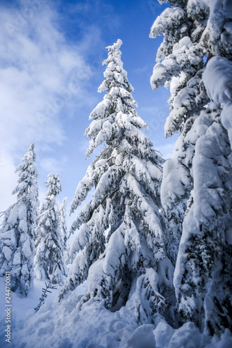Winter landscape, coniferous trees snow covered in Karkonosze mountains in Poland