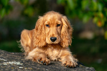 Puppy Dog Cocker Spaniel Portr...