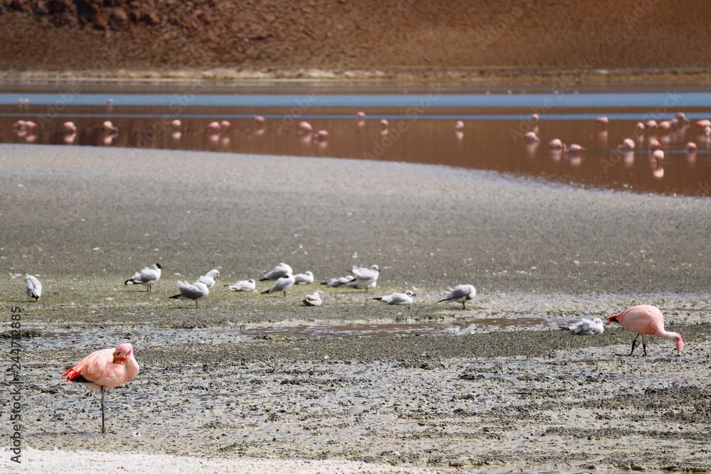 Pink Flamingos and Seagulls Grazing at Laguna Hedionda, the Saline Lake in Bolivian Altiplano, Potosi Department of Bolivia