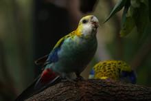 Pale-headed Rosella (Platycercus Adscitus)  Australian Bird Eating