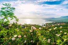 Beautiful Blooming Wild Roses ...