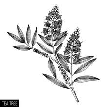 Hand Drawn Tea Tree (tea Olive...