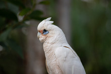 Little Corella On The Rock Aus...