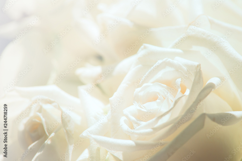 Fototapety, obrazy: White rose close-up for background.Soft focus.Soft color with petal of rose blur style for background