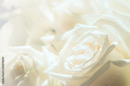 Foto op Aluminium Roses White rose close-up for background.Soft focus.Soft color with petal of rose blur style for background