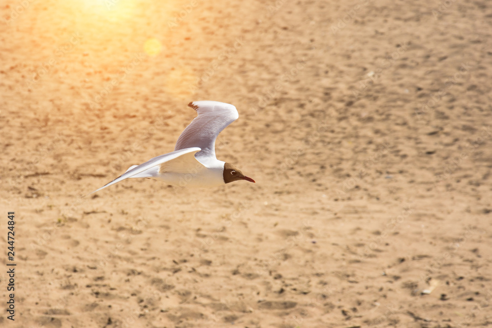 A flying seagull over the sand of the bay.