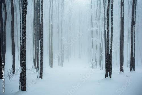 Fototapeta  Beautiful winter landscape,snow covered woods,foggy forest.